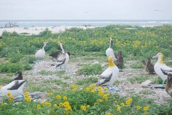 11Short-tailed Albatross Decoys