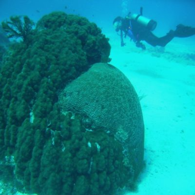 Brain coral and Mountain Star