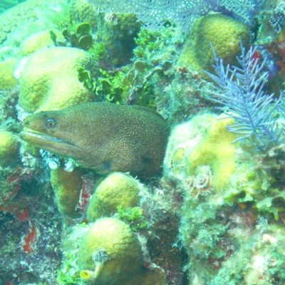 Moray Eel in Coral Outcrop